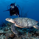 yara_diving_turtle_alb