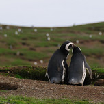Magellanic pinguins on Magdalena island, Chile