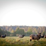 Sheep near Klintehamn